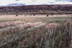 Rustikale Landschaft des malerischen Herbstes, Kühe weiden lassend, schräges Feld, Wiese auf Hintergrund des Waldsonnigen Tages a Lizenzfreies Stockbild