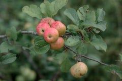 rustikales Apple mit roten Äpfeln auf grünem Hintergrund Stockbilder