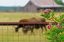 Rustin谷仓、草甸和长角牛起背景作用对于得克萨斯夹竹桃 免版税库存照片