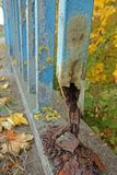 Rusting fence. Damaged rusting fence with blue coating Stock Photography