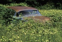 A rusting 1950s car rests in a thicket of overgrown leaves and flowers in the Blue Ridge Mountains of Virginia Royalty Free Stock Photo