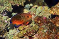Rusty Angelfish stock foto