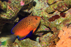 Rusty Angelfish fotografia stock libera da diritti