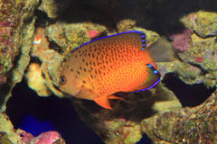 Rusty Angelfish Royalty Free Stock Images