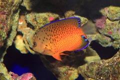 Rusty Angelfish. (Centropyg e ferrugata) in Japan royalty free stock images