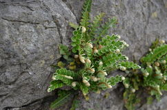 Rusty-back Fern Royalty Free Stock Images
