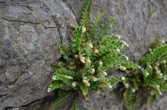 Rusty-back Fern. Ceterach officinarum Raithneach rua on the rock wall, Clones Ireland royalty free stock images