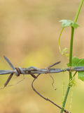 Rusty barbed wire fence cuddled with green lvy Gourd in upcountr Royalty Free Stock Photo