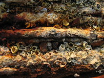 Rusty Barnacles. A rusty old piece of metal covered in barnacles Royalty Free Stock Images