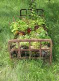 Rusty bed frame used for garden design. Rusty iron bed frame filled with flowers pots and plants standing in the backyard with wildly grown grass as garden Stock Photography