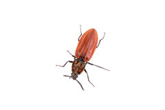 Rusty beetle on a white background Royalty Free Stock Photo