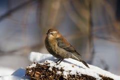 Rusty Blackbird. (Euphagus carolinus) in snow scene stock images