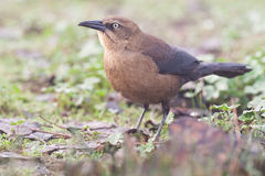 Rusty Blackbird. Female Rusty Blackbird Foraging Among Fallen Leaves royalty free stock photo