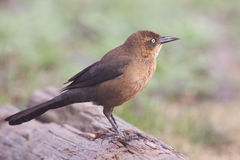 Rusty Blackbird Stock Image