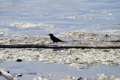 Rusty Blackbird (Emphagus carolinus) Reflections Lake Palmer Alaska Royalty Free Stock Image