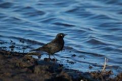 Rusty Blackbird en la línea de la playa Imágenes de archivo libres de regalías