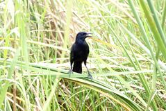 Rusty blackbird in Everglades National Park Royalty Free Stock Photography