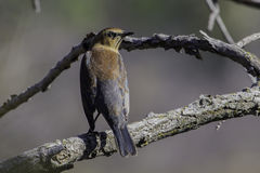 Rusty Blackbird stock photography