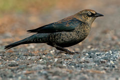 Rusty Blackbird Royalty Free Stock Photography