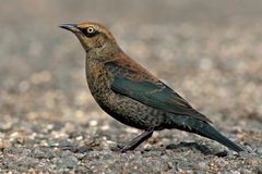 Rusty Blackbird Royalty Free Stock Photos