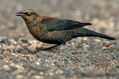 Rusty Blackbird Stock Images