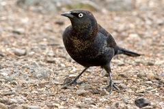 Rusty Blackbird Royalty Free Stock Images