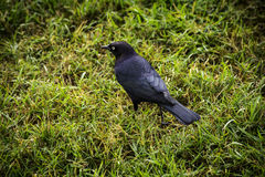 Rusty Blackbird stock photo