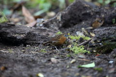 Rusty-breasted Wren-Babbler Stock Photos