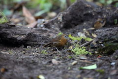 Rusty-breasted Wren-Babbler Royalty Free Stock Image