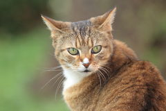 Rusty cat Stock Images