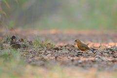 Rusty-cheeked Scimitar-Babbler, Bird on ground stock images