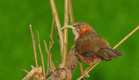 Rusty-cheeked scimitar babbler Stock Image
