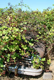Rusty classic car hidden in blackberry bushes Stock Photography