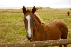 Rusty Color Horse With ett charmigt vitt band på framsida Arkivfoton