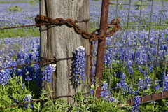 Rusty Fence and Bluebonnets. Bluebonnets behind a rusty barbed wire fence and gate with rusty chain Stock Photos
