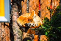 Rusty fox sleeping on a tree. Stock Photo