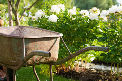 Rusty gardening wheel barrow in a garden Royalty Free Stock Images