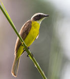 Rusty-margined Flycatcher Royalty Free Stock Photos