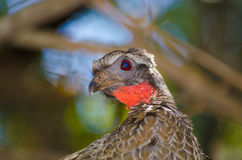 Rusty-margined guan Stock Image