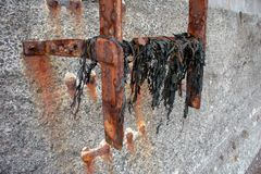 Rusty metal ladder with seaweed royalty free stock image