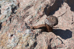 Rusty nail hammered in stone Royalty Free Stock Image