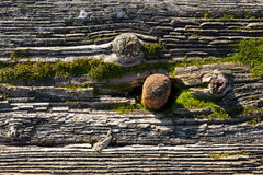 Rusty nail in mossy rotten wood. Stock Image