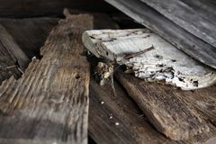 Rusty nail in wood royalty free stock photo
