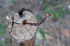 Rusty nail in wood Royalty Free Stock Photos