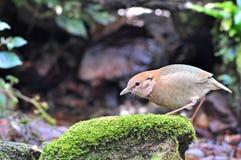 Rusty-naped Pitta. (female), Bird of Thailand Stock Image