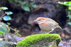 Rusty-naped Pitta. (female), Bird of Thailand Royalty Free Stock Photography