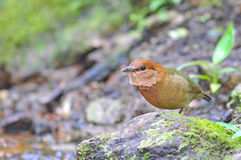 Rusty-naped Pitta. (male) Bird of Thailand Stock Images