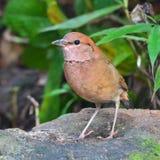 Rusty-naped pitta bird Stock Photography