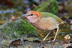 Rusty-naped pitta bird Royalty Free Stock Image