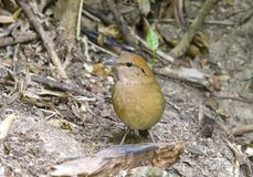 Rusty-naped Pitta :pitta  oatesi. Rusty naped pitta bird feeding is low near the ground. Eating worms and insects as food (Mae Wong National Park, Thailand Royalty Free Stock Image